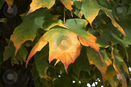 Maple leaves stock photo,  by Heather Shelley
