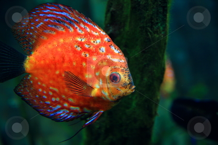 Discus fish stock photo, Orange discus fish in aquarium by Jack Schiffer