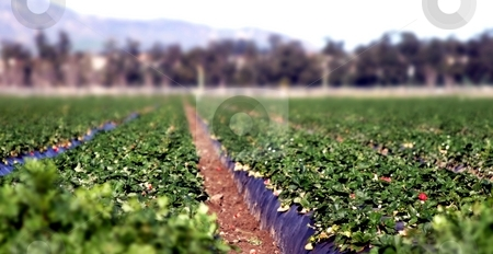 Strawberry Field stock photo, Low view of a strawberry field with shallow dof. by Henrik Lehnerer
