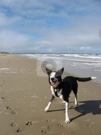 Border collie on beach stock photo,  by Robyn Butler