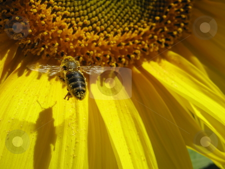 The harvester stock photo, Bee flying onto sunflower by Robyn Butler