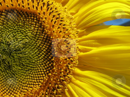 Sunflower detail stock photo,  by Robyn Butler