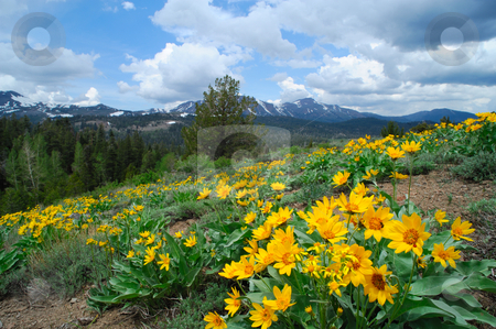 Springtime In the Sierra's stock photo, Yellow flowers cover a hillside at springtime with snow covered peaks in the background in the california sierra nevada mountains by Lynn Bendickson