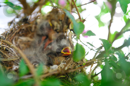 Baby Birds In A Nest stock photo, Newly hatched sparrows with fine down feathers in a nest waiting for their parents by Lynn Bendickson