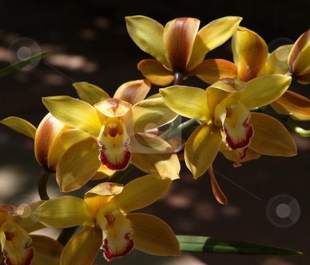 Yellow orchid flowers stock photo, A colorful close-up of yellow orchid flowers by Jill Reid