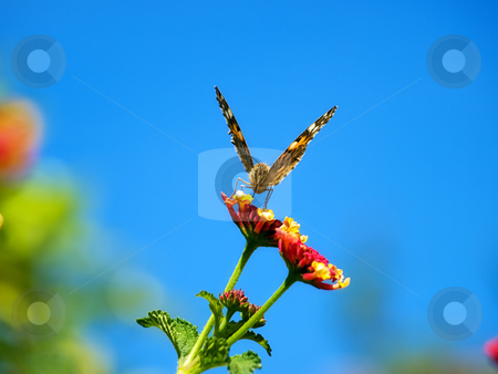 Butterfly feeding stock photo, Front view of the butterfly while collecting nectar from flowers in the spring morning. by Sinisa Botas