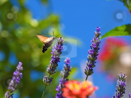 Moth feeding stock photo, Just a moth insect, while collecting nectar from flowers in the spring morning by Sinisa Botas