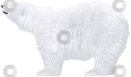 Polar bear stock photo, Beautiful white polar bears isolated  - arctic wild animals by Stelian Ion