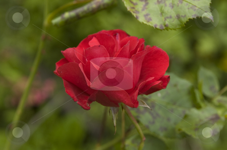 Rose stock photo, Red rose close-up by Andreas Brenner