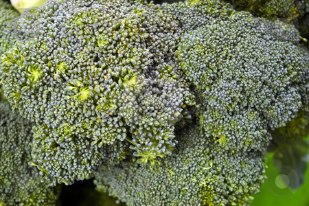 Broccoli Heads stock photo, Heads of Brocoli at a local farmers' market by Steve Carroll