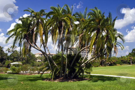 Palm tree cluster stock photo, A palm tree cluster at Sarasota, Florida. by Steve Carroll