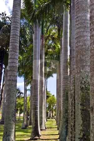 Row of Palms stock photo, A row of palm trees in a tropical garden. by Steve Carroll