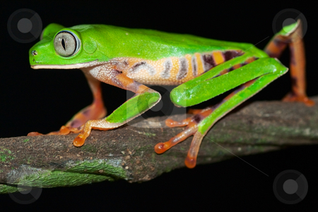 Phylomedusa tomopterna stock photo, Monkey frog Phyllomedusa tomopterna Bolivia by Dirk Ercken