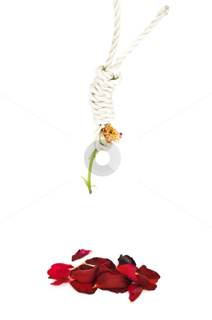 Hung Rose stock photo, Hung Rose on a white background with fallen petals by John Teeter