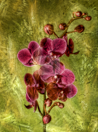 Pink Phalaenopsis Orchid stock photo, A single pink orchid stem behind a vintage texture layer. by Michelle White
