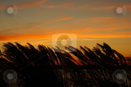 Sunset Grass stock photo, Silhouette of tall grass during sunset by Daniel Rosner