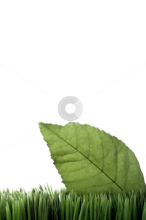 A green leaf on grass on white with space for copy stock photo, Vertical image of a green leaf on grass on white with space for copy by Vince Clements