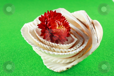 Immortella in shell stock photo, A beautiful immortella flower arising from a shell collection by Varga S??ndor