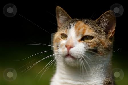 Cats head stock photo, Detail of cats head with eyes in sunlight by Juraj Kovacik