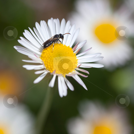 Daisies stock photo, Bellis perennis is a common European species of Daisy, often considered the archetypal species of that name. Many related plants also share the name