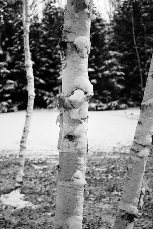 Birch Tree stock photo, A grove or birch trees covered in snow by Lucas Cobb