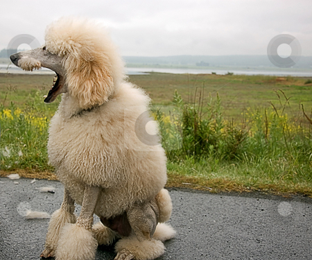 Humorous Look at Standard White Poodle stock photo, This humorous photo of a standard white poodle is with it's mouth wide open and beautiful landscape in the background. by Valerie Garner