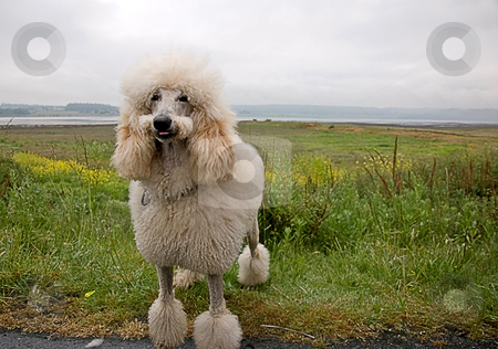 Smiling White Standard Poodle stock photo, This white standard poodle appears as tho he's smiling with his tongue sticking slightly out and his mustache cut.  Beautiful seascape in the background. by Valerie Garner