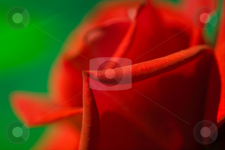 Red rose stock photo, The beautiful red rose is a symbol of love by Sergey Goruppa