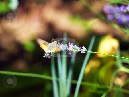 Moth feeding stock photo, Just a moth insect,while collecting nectar from flowers in the spring morning by Sinisa Botas