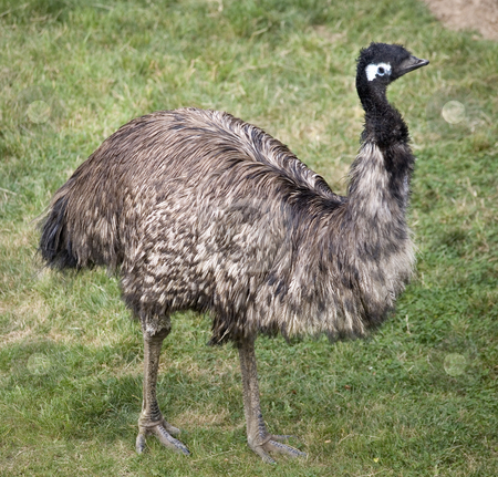 Emu Standing Up stock photo, Emu Standing Up  Picture of the entire emu by William Perry