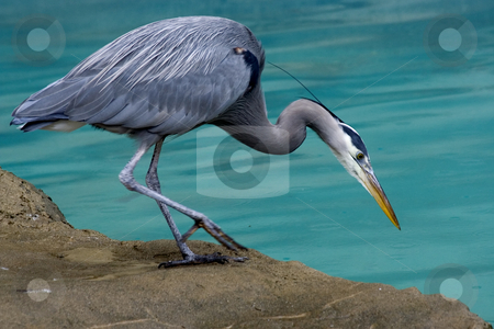 Great Blue Heron Looking for Fish stock photo, Great Blue Heron Close Up Looking for fish by William Perry