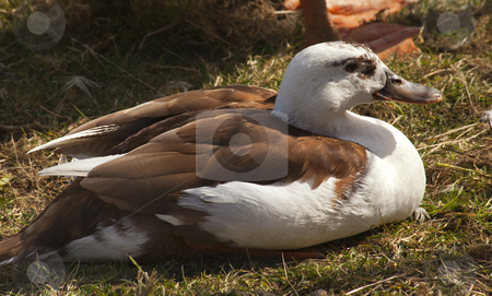 Brown White Duck stock photo, Brown White Duck by William Perry
