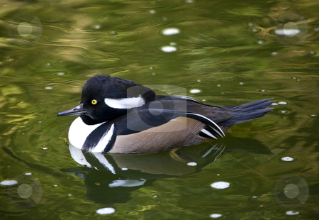 Black White Goldeneye Duck stock photo, Black White Goldeneye Duck Swimming with Reflections Close Up by William Perry