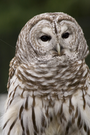 Barred Owl stock photo, Barred Owl Close Up Black and White Owl by William Perry