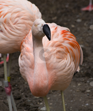 What You Looking At??  Pink Chilean Flamingo Looking at You stock photo, Pink Flamingo from Chile Looking at You, Phoenicopterus chilensis  Red Orange white and pink feathers.  Black Bill Yellow eyes by William Perry
