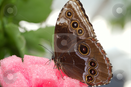 Morfo achillaena stock photo, The beautiful butterfly is considered a symbol of love. by Sergey Goruppa