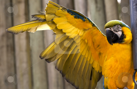 Blue Gold Macaw Stretching Yellow Wing stock photo, Blue and Gold Macaw Stretching Yellow Wing.  The feathers have been clipped to prevent the macaw from flying away. by William Perry