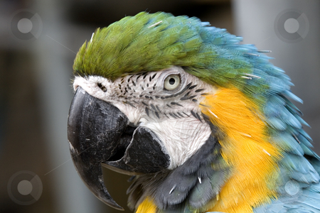 Blue Gold Macaw Head Shot stock photo, Blue Gold Macaw Head Shot Portrait Close Up by William Perry