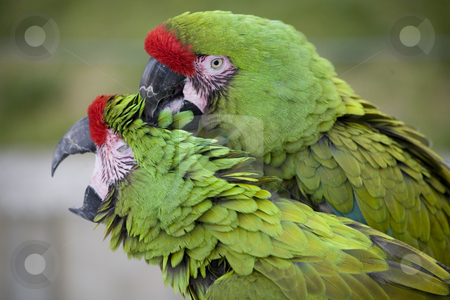 Love Bite Green Military Macaws stock photo, Love Bite Green Military Macaws Close Up by William Perry