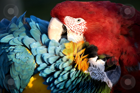 Red and Blue Macaws Love Bite stock photo, Red Green Winged Macaw and Blue and Gold Macaw Playing with a Love Bite by William Perry