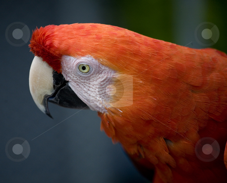 Scarlet Macaw Face stock photo, Close Up the Side of the Face of a Scarlet Macaw by William Perry