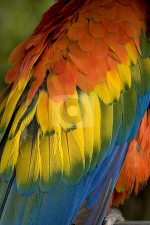 Scarlet Macaw Feathers Close Up stock photo, Scarlet Macaw Blue, Red, Yellow and Green Feathers Close Up and Beautiful by William Perry