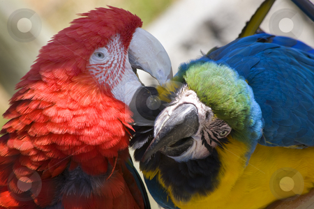 Grooming Green Wing Macaw Blue Gold Macaw stock photo, Grooming Green Wing Macaw and Blue Gold Macaw Close Up Looking at You by William Perry