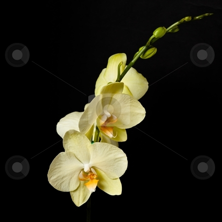 Phalaenopsis stock photo, Phalaenopsis is a genus of approximately 60 species of orchids (family Orchidaceae). The abbreviation in the horticultural trade is Phal. by Mariusz Jurgielewicz