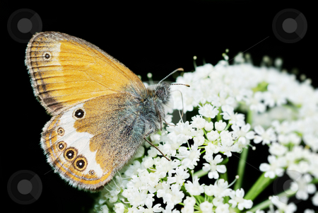 Pearly Heath  stock photo, Pearly Heath (Coenonympha arcania) butterfly feeding isolated over black background. by Ivan Paunovic