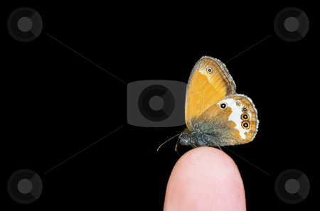 Pearly Heat on the finger stock photo, Pearly Heath (Coenonympha arcania) butterfly standing on the finger isolated over black background. by Ivan Paunovic