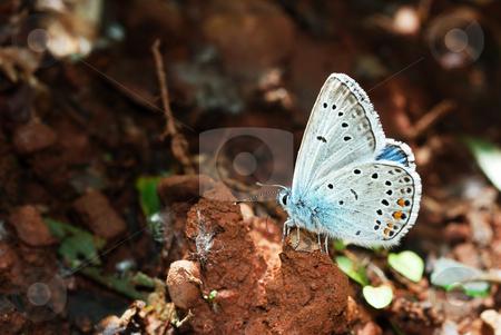 Amandas Blue stock photo, Amanda's Blue (Polyommatus amanda) male butterfly sucking moist from wet ground. by Ivan Paunovic