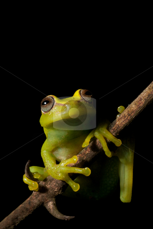 Hypsiboas cinerascens stock photo, Green tree frog Hypsiboas cinerascens in the Bolivian rain forest by Dirk Ercken