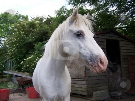Happy horse stock photo, White pony by Lee Measures