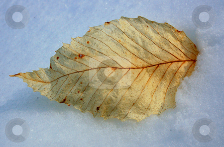 Dry leaf stock photo, Dry sunlit leaf on snow by Pavel Cheiko
